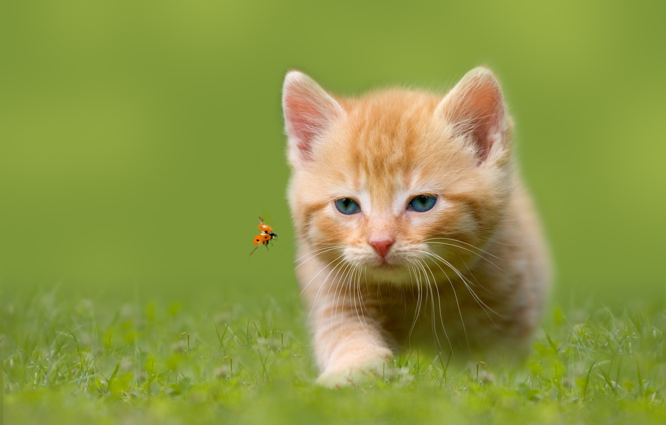 Photo wallpaper grass, ladybug, insect, hunting, kitty, blue-eyed