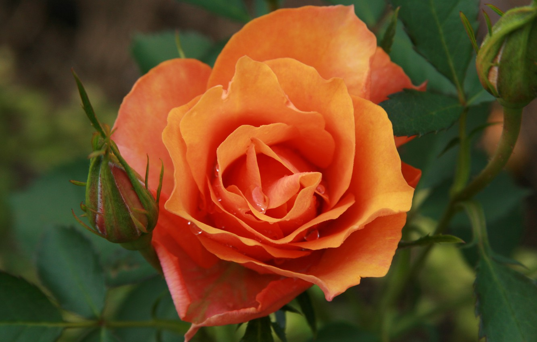 Photo wallpaper flower, flowers, nature, rose, plant, garden