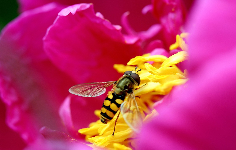 Photo wallpaper flower, pink, Bee, petals