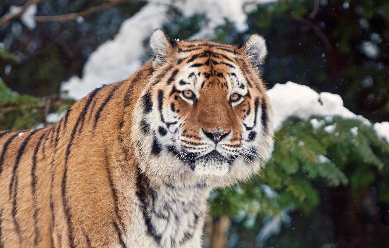 Photo wallpaper winter, snow, tiger