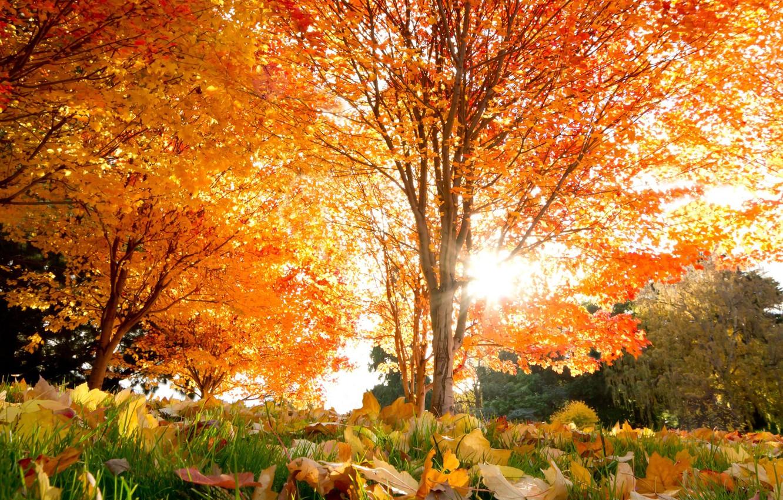 Photo wallpaper autumn, leaves, trees, beautiful, Autumn, maple