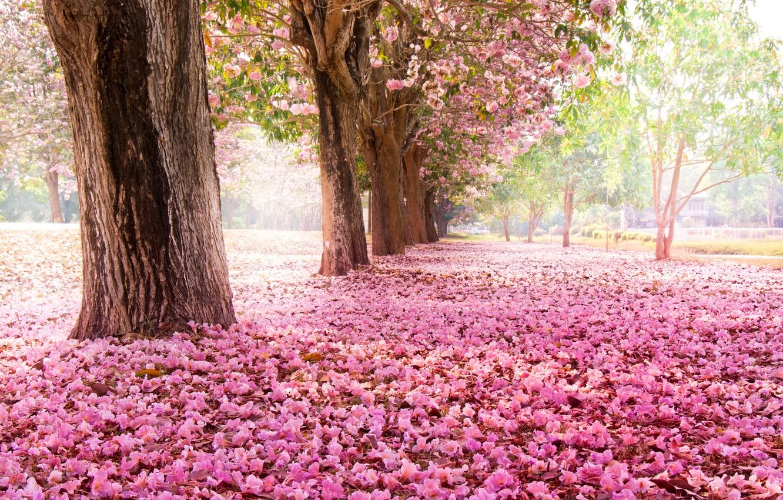 Photo wallpaper trees, flowers, nature, Park, Sakura, pink, flowering