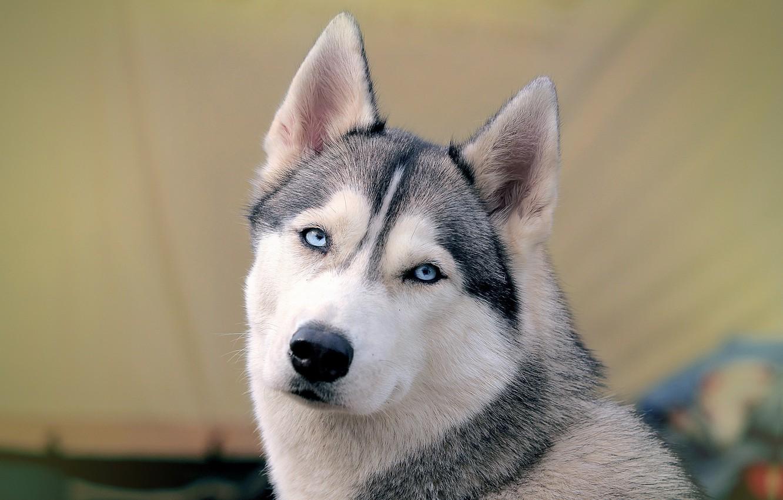 Photo wallpaper background, dog, Siberian husk
