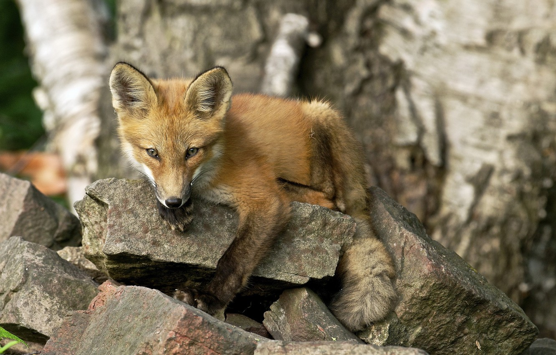 Photo wallpaper summer, nature, Fox