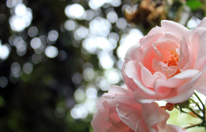 Photo wallpaper flowers, nature, roses, petals, nature, flowers, bokeh, bokeh, 2560x1600, petals, roses