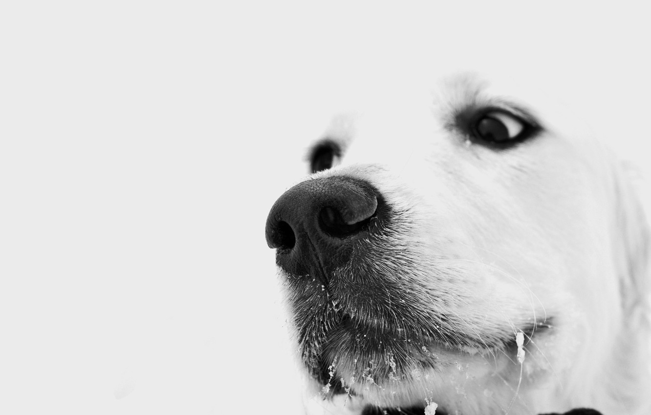 Photo wallpaper winter, white, eyes, look, dog, dog, brooding, sad, the snow on his mustache