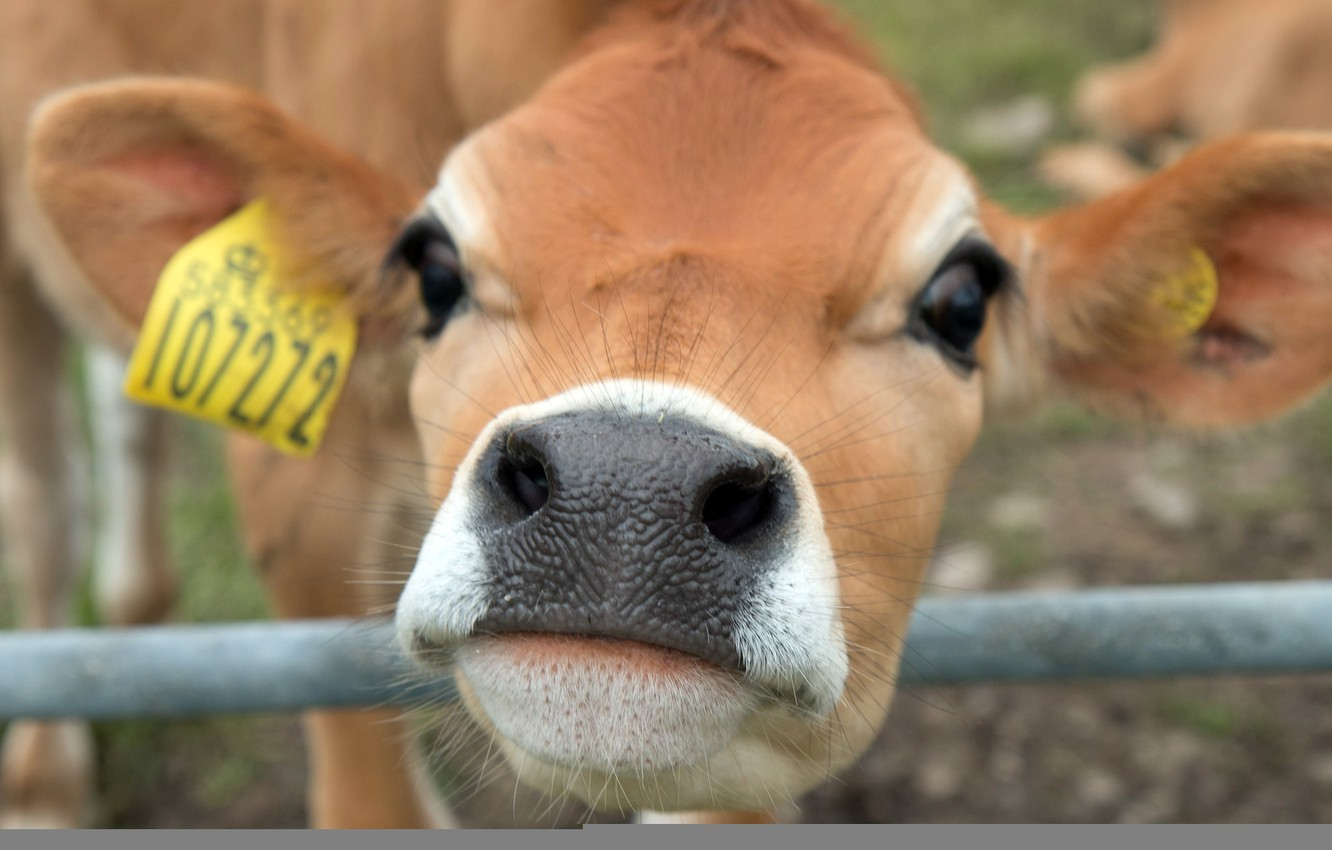 Photo wallpaper face, background, cow