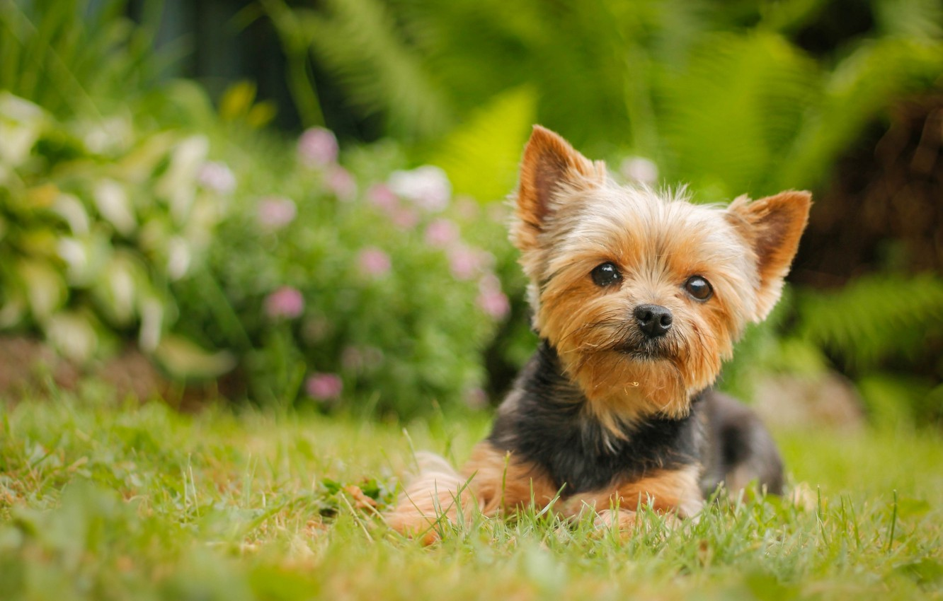 Photo wallpaper look, dog, York, Yorkshire Terrier