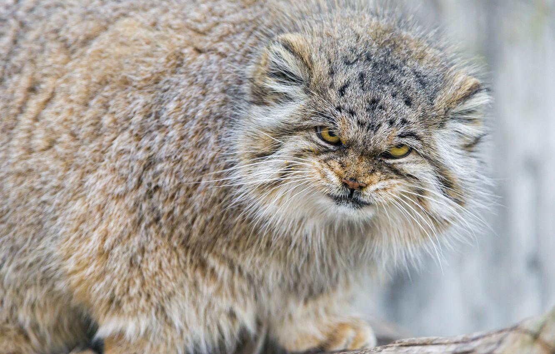 Photo wallpaper cat, look, fluffy, evil, manul, ©Tambako The Jaguar