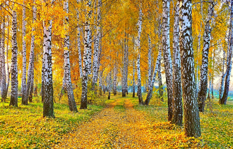 Photo wallpaper road, autumn, landscape, nature, yellow leaves, birch