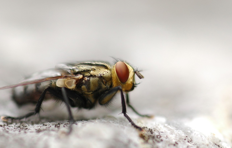 Photo wallpaper fly, macro