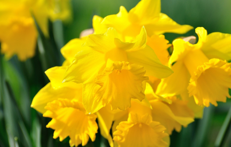 Photo wallpaper petals, yellow, daffodils