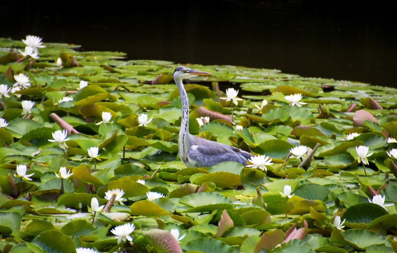 Photo wallpaper leaves, bird, water lilies, water lilies, Grey Heron