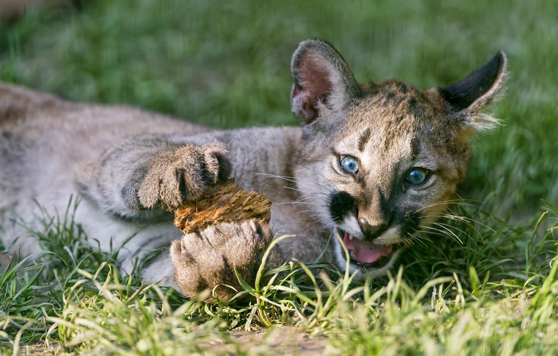Photo wallpaper cat, grass, cub, kitty, Puma, mountain lion, Cougar, ©Tambako The Jaguar