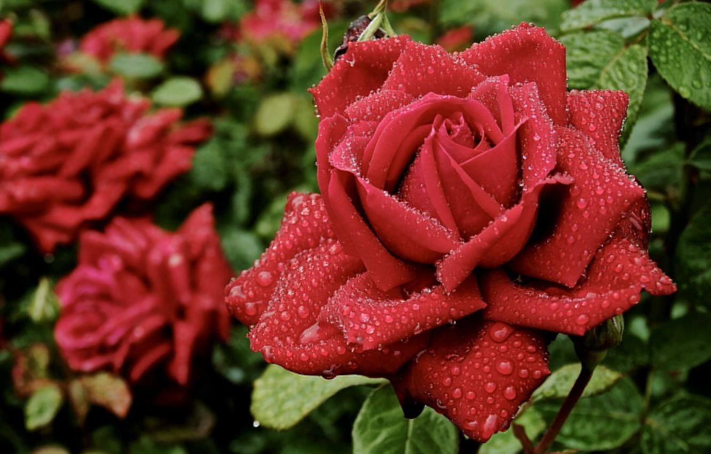 Photo wallpaper drops, Rosa, rose, petals