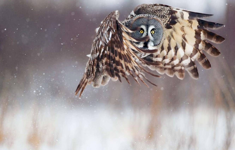 Photo wallpaper winter, snow, flight, owl, wings