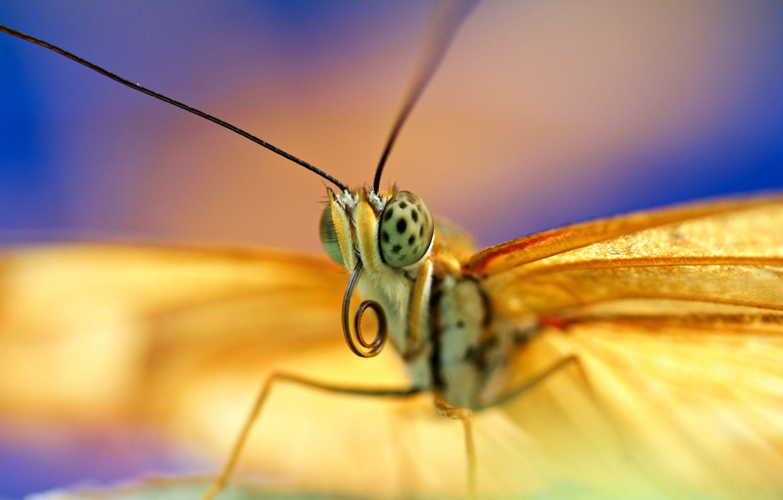 Обои petals, open wings, wings, Butterfly, flower, proboscis, antennae. Макро foto 19