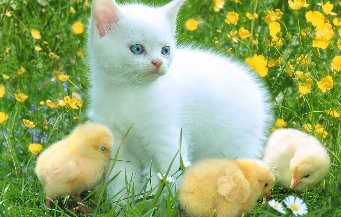 Photo wallpaper chickens, chamomile, kitty, clearing