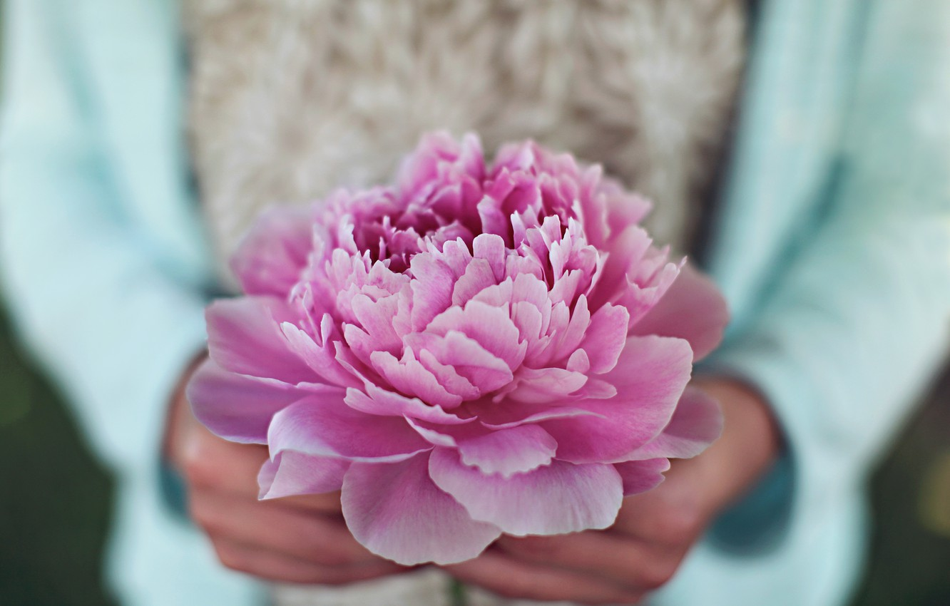 Photo wallpaper flower, pink, petals, peony