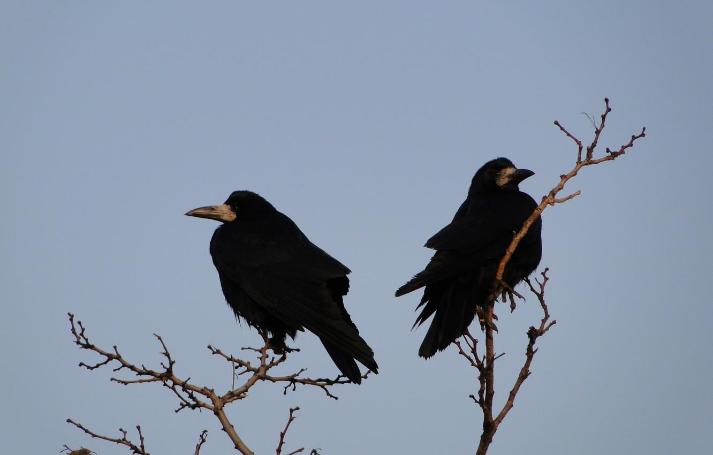 Photo wallpaper birds, spring, rooks, Akela White