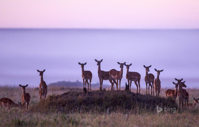 Wallpaper Nature Africa The Herd Kenya Impala Antelope Masai