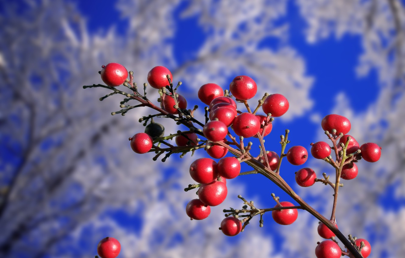 Photo wallpaper winter, autumn, trees, berries, branch, red, frost
