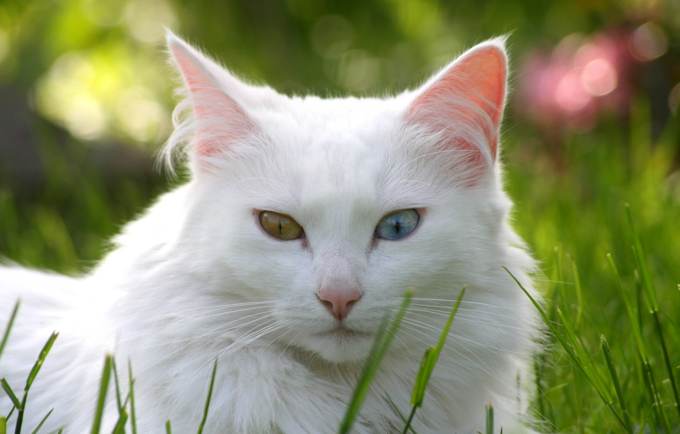 Photo wallpaper cat, grass, cat, lawn, white, different eyes