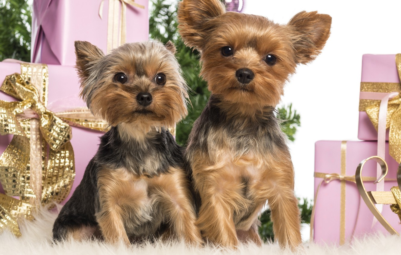 Photo wallpaper dogs, gifts, New year, box, Yorkshire Terrier