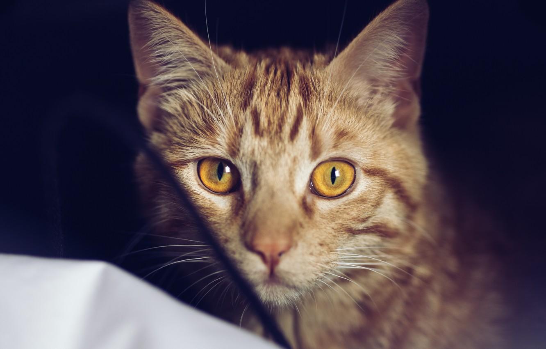 Photo wallpaper cat, eyes, cat, wool, red