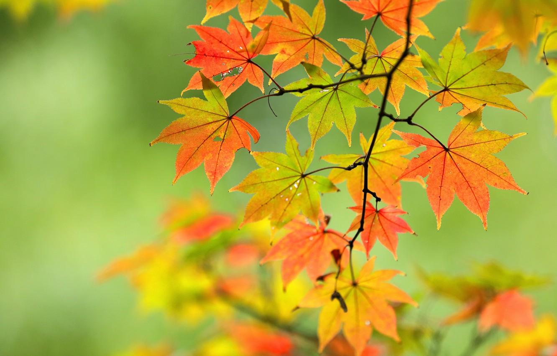 Photo wallpaper autumn, leaves, branch, maple, bokeh