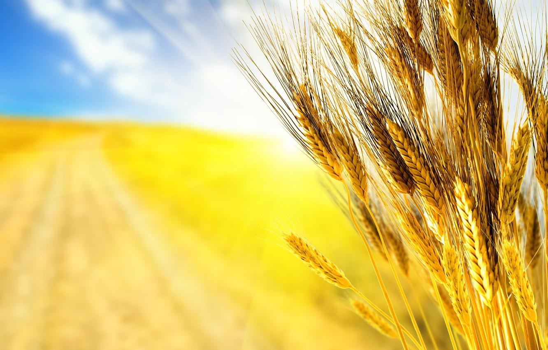 Photo wallpaper road, wheat, field, autumn, the sky, grass, macro, rays, light, yellow, nature, grain, field, grain, …