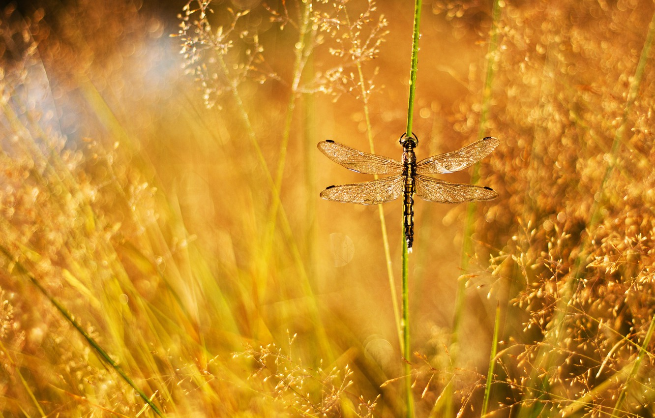 Photo wallpaper grass, drops, Rosa, glare, dragonfly, a blade of grass, panicles