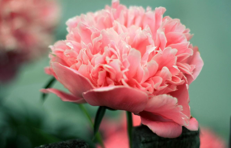Photo wallpaper flower, flowers, pink, peony
