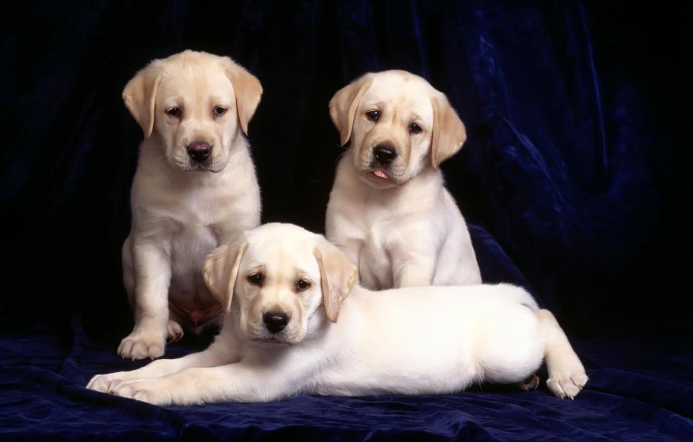 Photo wallpaper 3 beautiful puppy, velvet background, beautiful eyes