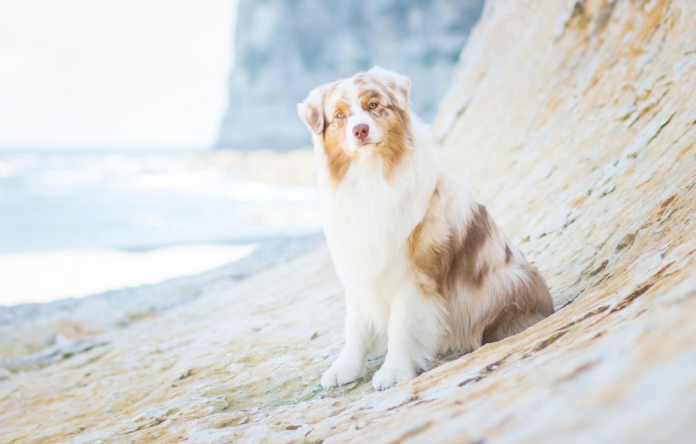 Photo wallpaper look, dog, Australian shepherd, Aussie