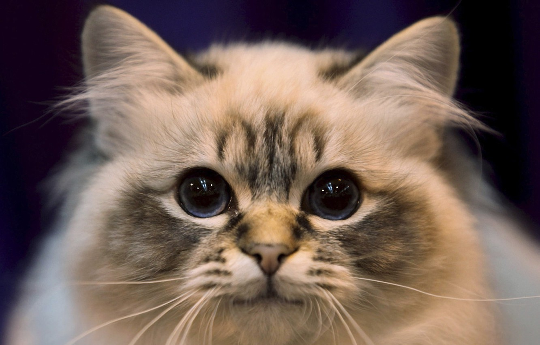 Photo wallpaper cat, look, portrait