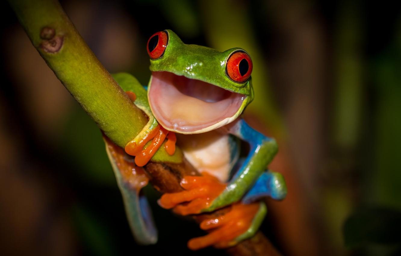 Photo wallpaper frog, legs, mouth, stem, orange, green, red eyes, colorful, frog, red eyes, beauty, orange, wood, …