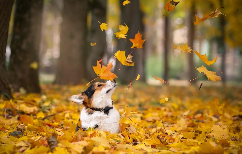 Photo wallpaper autumn, leaves, Corgi