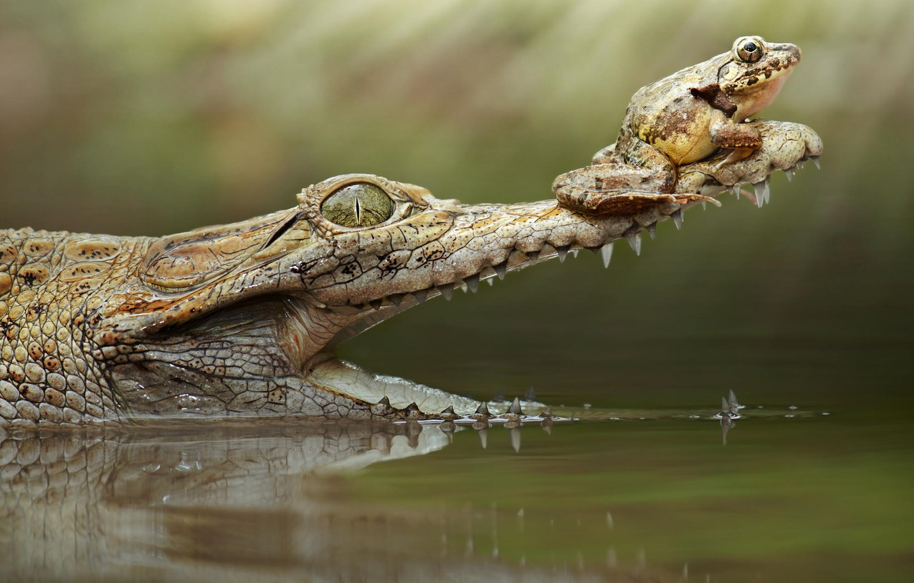 Photo wallpaper frog, crocodile, mouth