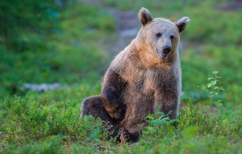 Photo wallpaper bear, brown bear, the Bruins