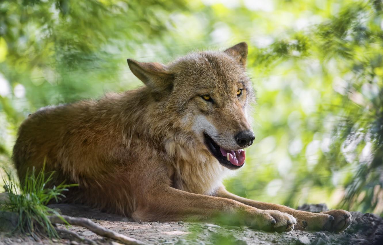 Photo wallpaper wolf, predator, ©Tambako The Jaguar