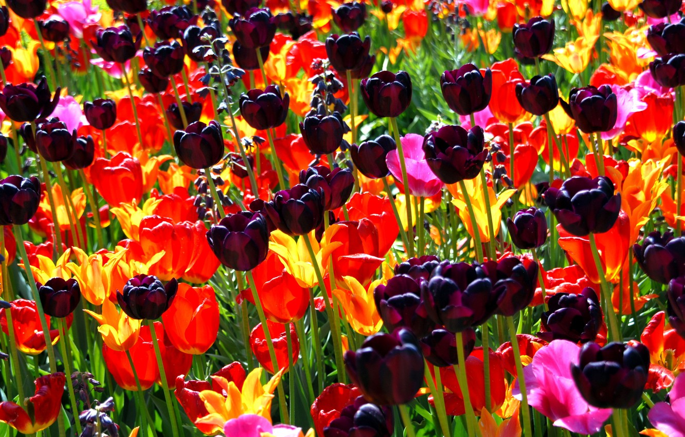 Photo wallpaper flower, flowers, nature, bouquet, spring, petals, tulips, buds, a sea of flowers