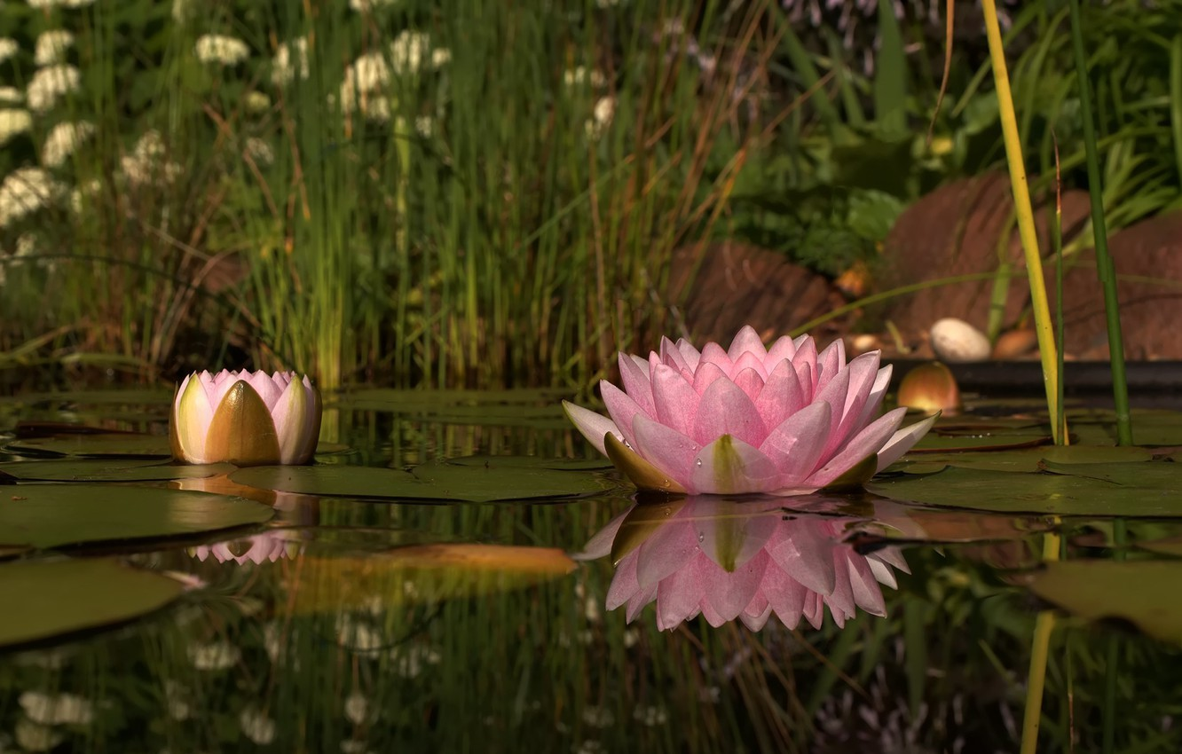 Photo wallpaper flower, nature, lake, pink, petals, Lily, water Lily