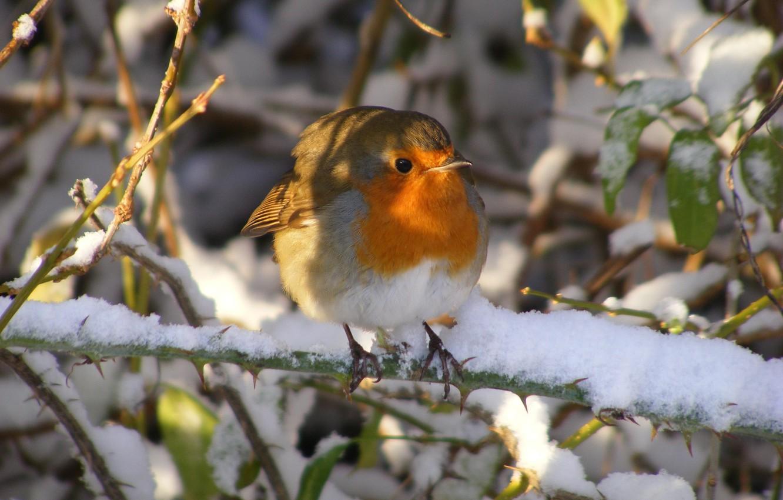 Photo wallpaper winter, snow, morning, bird