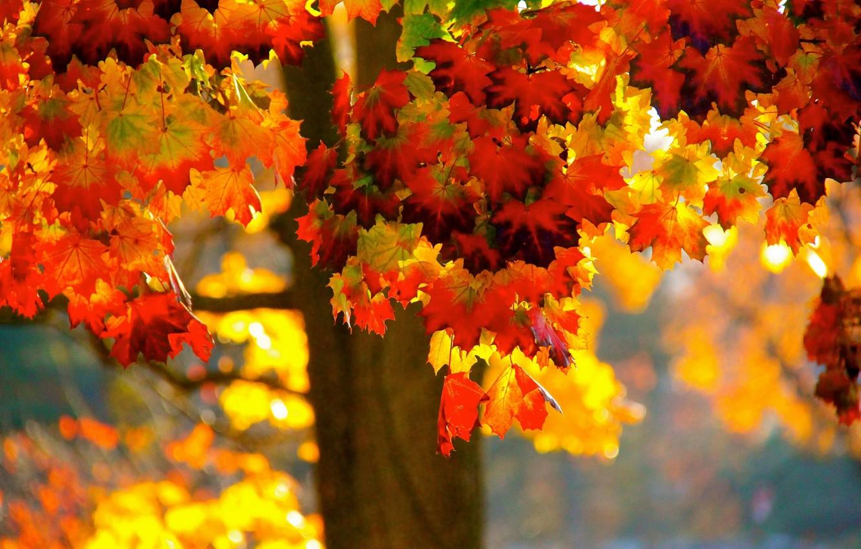 Photo wallpaper autumn, leaves, tree, maple