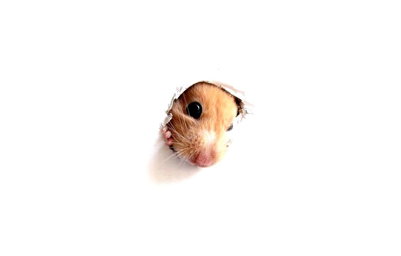 Photo wallpaper Wallpaper, Hamster, peek-a-Boo through a hole in a white wall