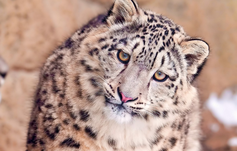 Photo wallpaper look, face, IRBIS, snow leopard, sideways