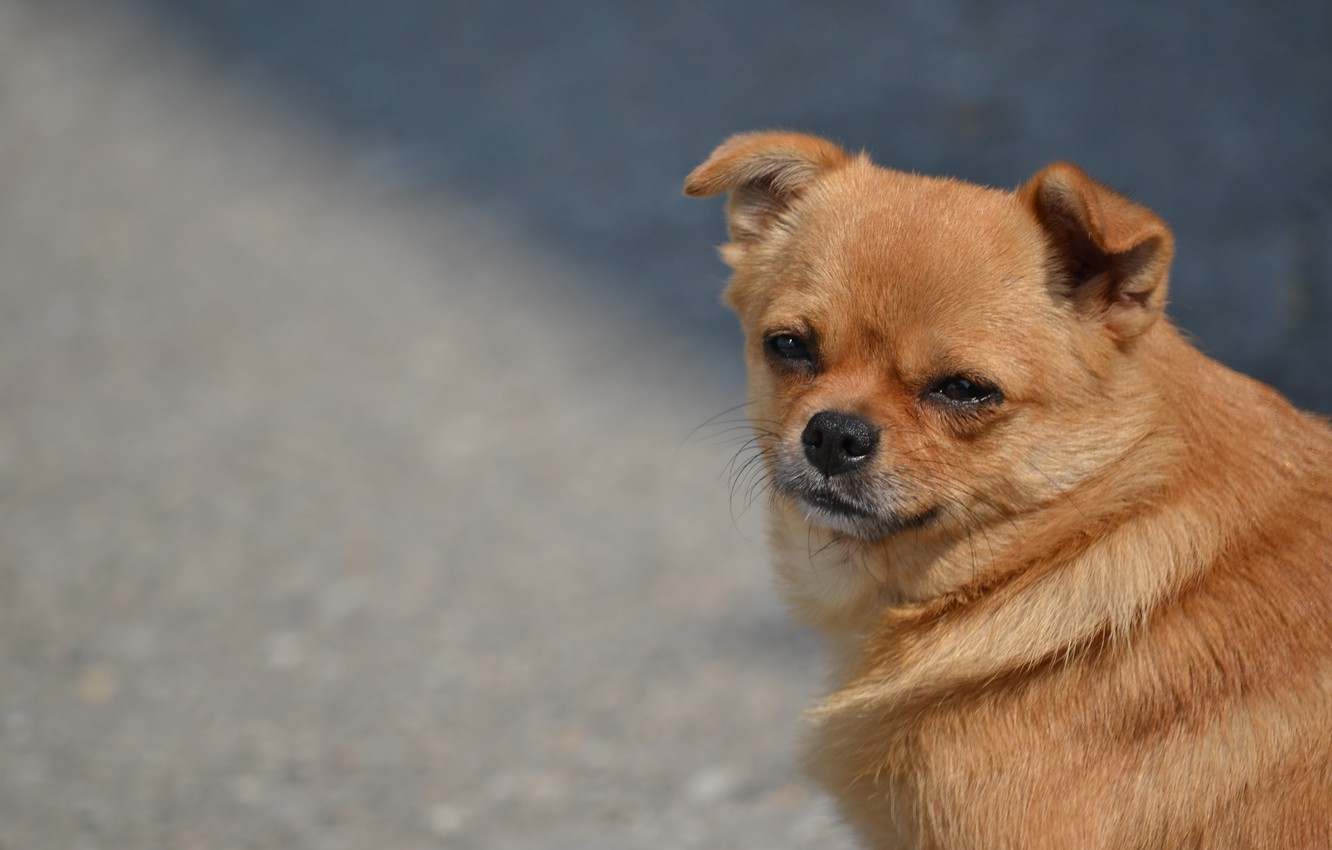 animals, dogs, red, mongrel, funny dog