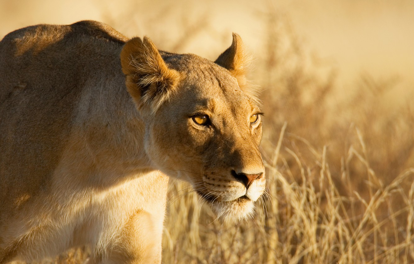 Photo wallpaper look, face, hunting, lioness, sneaks