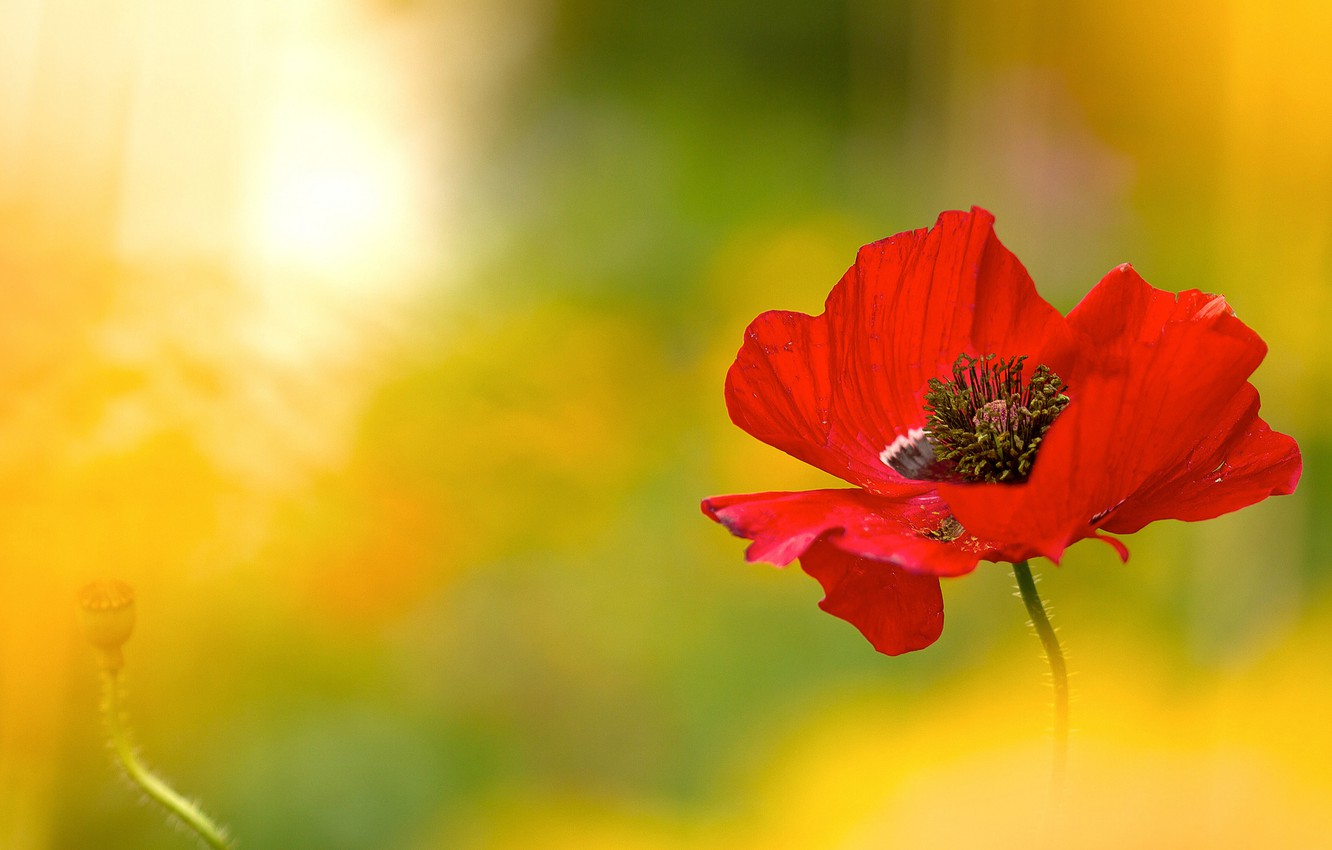 Photo wallpaper flower, light, red, Mac, blur, lighting